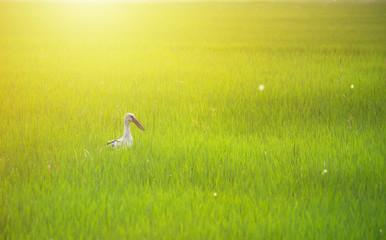 Background of green rice fields, birds in rice field.