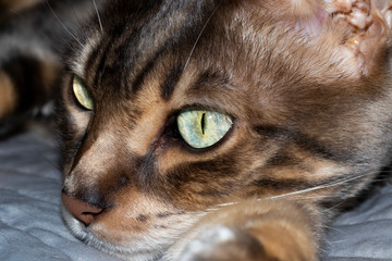 Male four year old Blue Marbled Bengal Corsican domestic cat, breed derived from the Asian Leopard