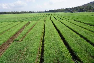 Onion plantation at Kretek Bantul Yogyakarta