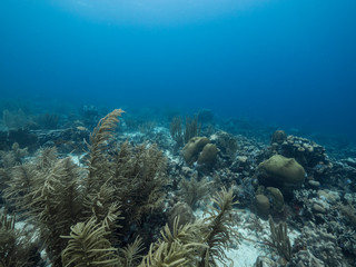 Seascape of coral reef in the Caribbean Sea around Curacao at dive site Watamula with various corals and sponges