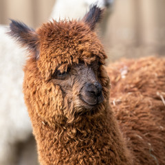 Fotorolgordijn Lama portrait of alpagua in an animal park
