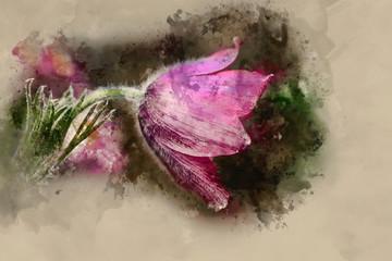 Watercolour painting of Stunning macro image of Pulsatilla Vulgaris flower in bloom