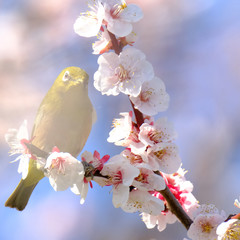 white eye and plum flower