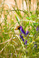 Insect Bijou at Nature / Beautiful butterfly sitting on purple blossom down at summery grass meadow