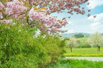 Spring in the garden. Cherry tree in full bloom.