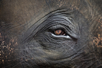Asian elephant's eyes.