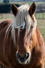 portrait d'un cheval à la criniere blanche