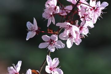 Pink flowers of tree - springtime