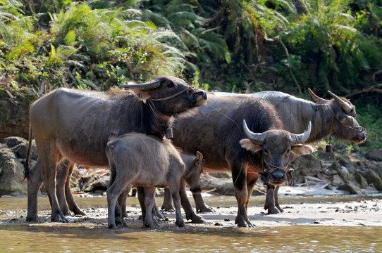 Vietnam, Sapa, The water buffalo or domestic Asian water buffalo.