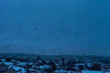 Flock of birds black silhouettes flying in dark blue sky at night