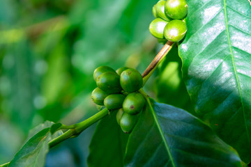 Branch of arabica coffee tree on plantation with green ripening coffee beans