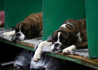 Boxers rest on their benches during the second day of the Crufts Dog Show in Birmingham