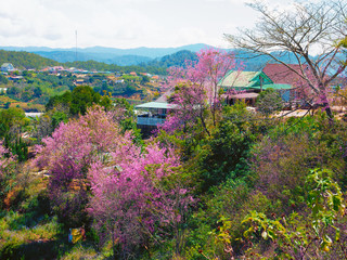 Thousands of prunus cerasoides cherry trees in the Central Highlands city of Da Lat, Vietnam are in full bloom with pinkish white blossoms, creating a magnetic attraction to the locals and visitors.