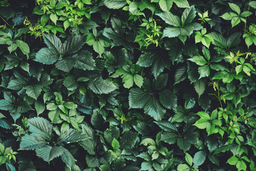 Hedge of big green leaves in spring. Green fence of parthenocissus henryana. Natural background of girlish grapes. Floral texture of parthenocissus inserta. Rich greenery. Plants in botanical garden.