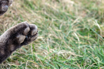 A close up look at the bottom of a bobcat paw. Bokeh background.