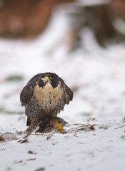 View of a peregrine falcon standing on the snow in the winter forest with its prey in the beak