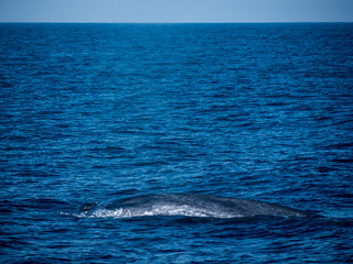 blue whale at Shri Lanka
