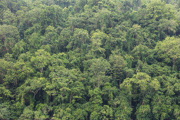 Wall Mural - Aerial View of Rainforest Canopy in Papua New Guinea