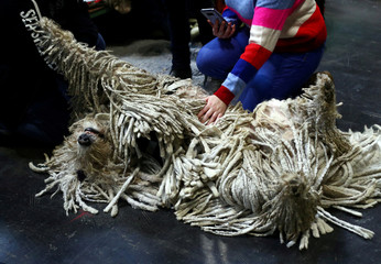 A Komondor relaxes during the second day of the Crufts Dog Show in Birmingham