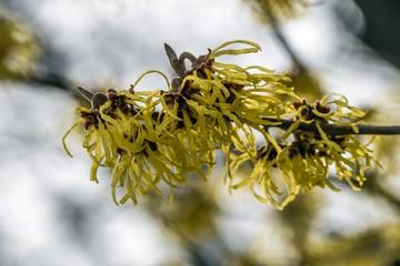 ozdobny krzew oczar wirginijski
