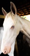 Um lindo cavalo albino