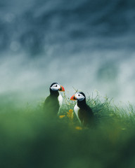 Two puffins in a green field