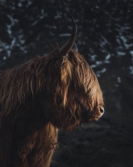 Close up of highland cattle