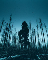 Lone evergreen tree standing amongst skeletal tree trunks after  a forest fire