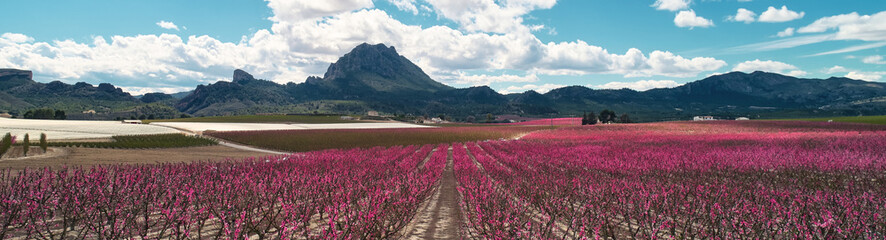 Photo sur cadre textile Grenat Cropped panoramic image blossoming fruit trees in Cieza, Spain