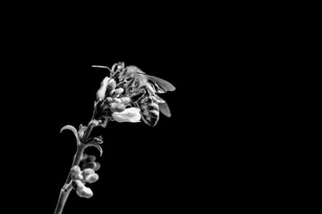 Honey bee death awareness because of climate change problems. The insect is sitting and collecting on a blossom at the left side of the picture. Black and white, isolated on black with copyspace