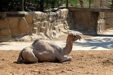 Camel resting outdoors