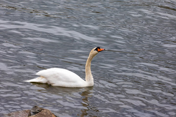 White swan in the blue lake. Romantic background