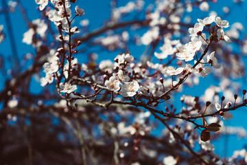 Cherry Sakura Tree with Beautiful Sky