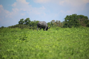 Buffalo in Baluran National Park, Situbondo, Indonesia