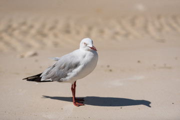 Möve steht in Seitenansicht am Strand und wirft Schatten mit Blick in Richtung Kamera