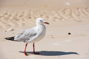 Möwe läuft langsam an Strand im Seitenprofil
