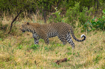 Leopard roaming its territory in the Khwai Concession area of Botswana Africa