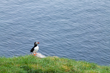 Atlantic puffin from Borgarfjordur fjord, east Iceland