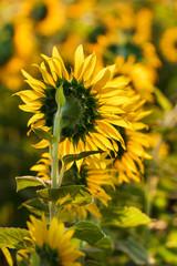 Sunflower follow the sun