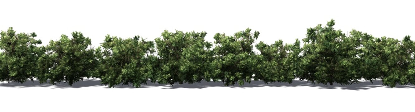 American Boxwood hedge with shadow on the floor - isolated on white background