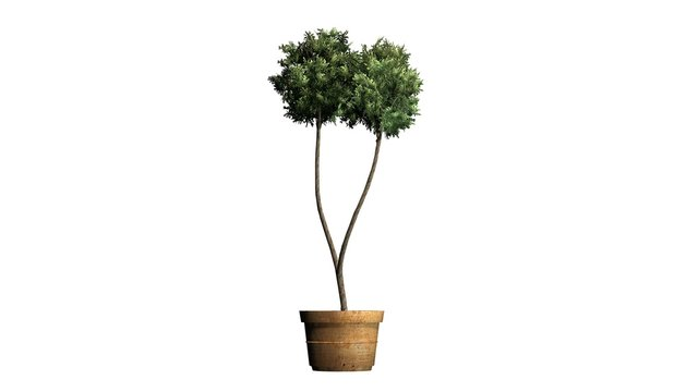 Boxwood Topiary in a planting pot - isolated on white background