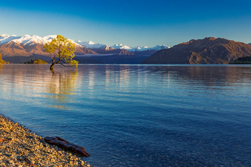 The Lonely tree of Lake Wanaka and snowy Buchanan Peaks, South Island, New Zealand