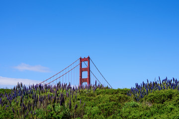 Lupine field with view Golden Gate Bridge against blue sky