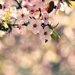 Beautiful nature scene with blooming tree and sun. Easter Sunny day. Spring flowers. Orchard Abstract blurred background in Springtime.