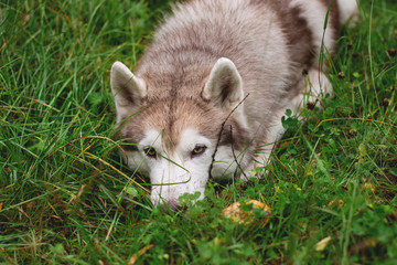 Cute and beautiful beige and white siberian husky dog lying in green grass on rainy day