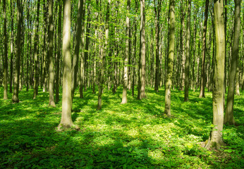 Wall Mural - beautiful green forest in spring