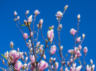 Wall Mural - Blooming Magnolia tree in spring