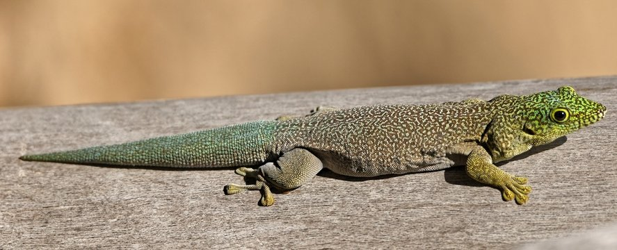 Querstreifen-Taggecko