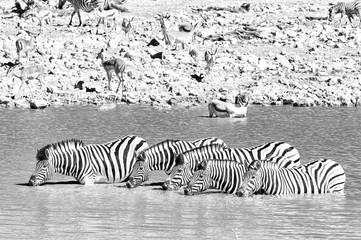 Burchells zebras drinking in a waterhole in Northern Namibia. Monochrome