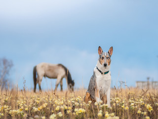 smooth collie and a horse pasque-flower snowdrop outdoor